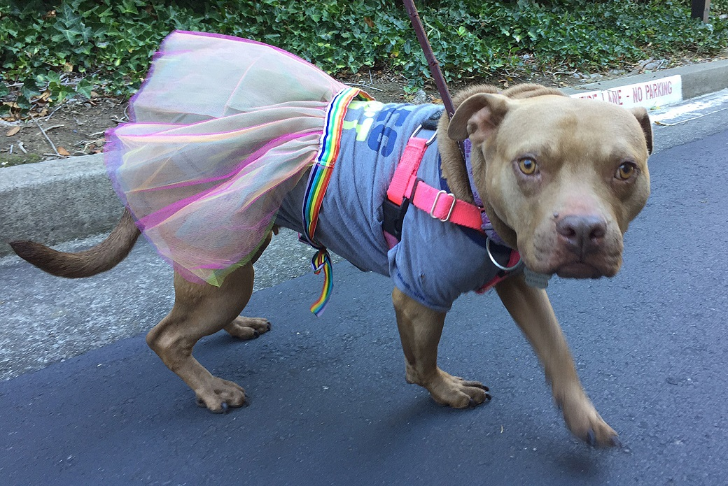 Kermit wearing a tutu while out on a walk