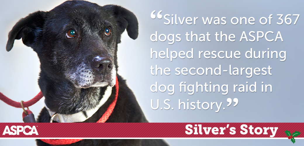 Black Lab Rescued from Dog Fighting: Read Silver's Story