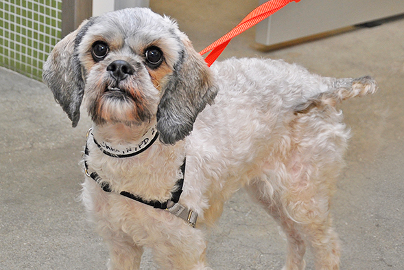 Shih tzu with new haircut