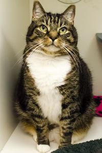 ASPCA Adoptable Cat Gus