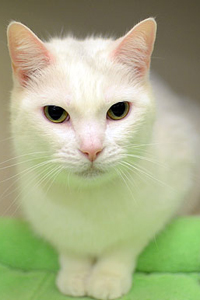 ASPCA Adoptable Cat Snowy