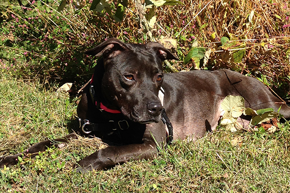 Brown pit bull laying on grass