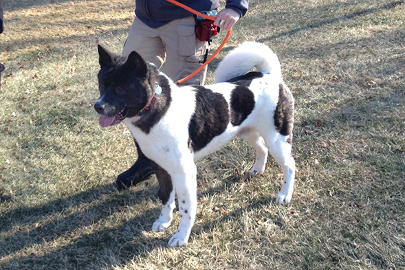 Black and white Akita