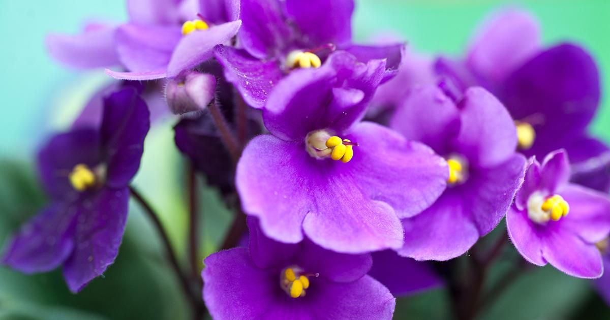 african violet aspca