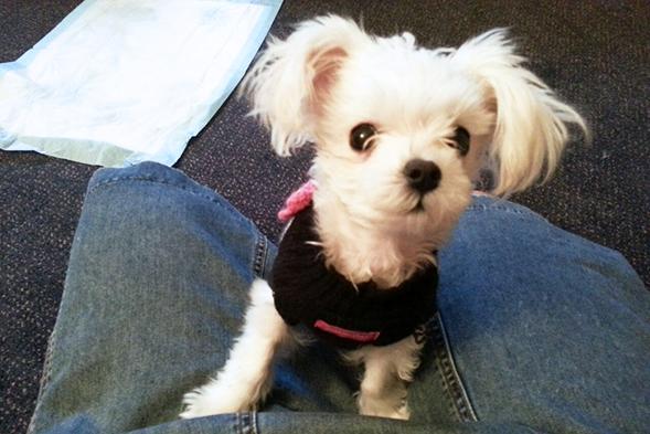 Small white dog wearing black harness
