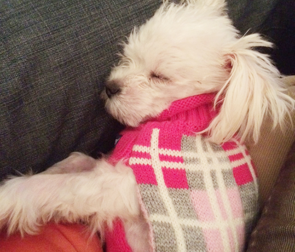 Napping small white dog wearing pink sweater