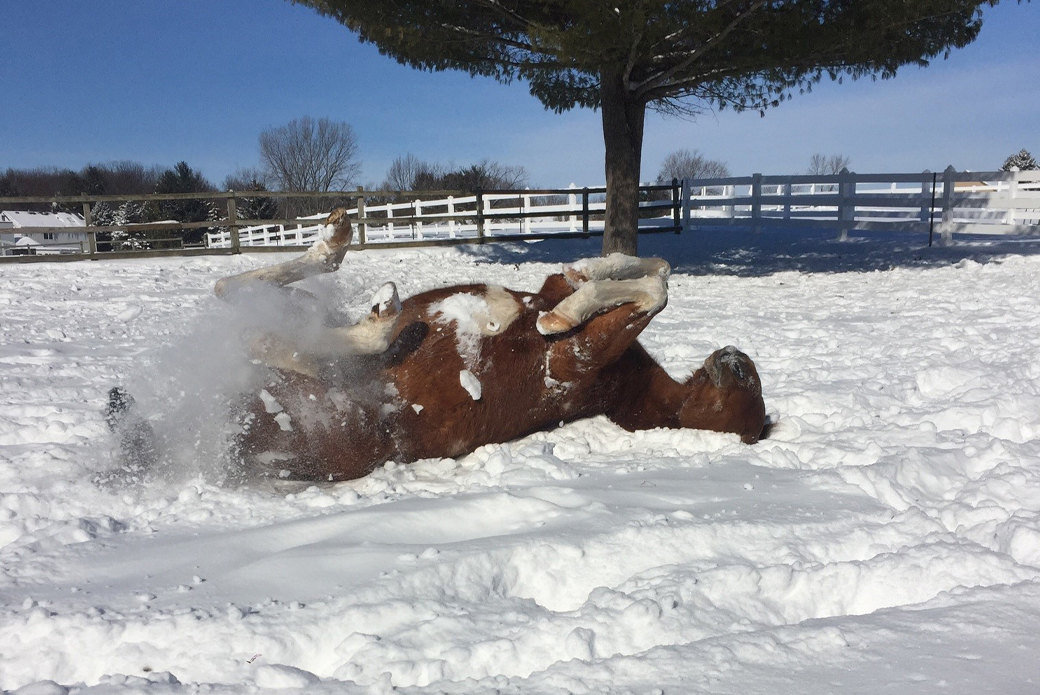 Horse playing in snow