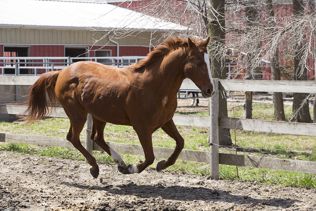 Horse galloping in pen