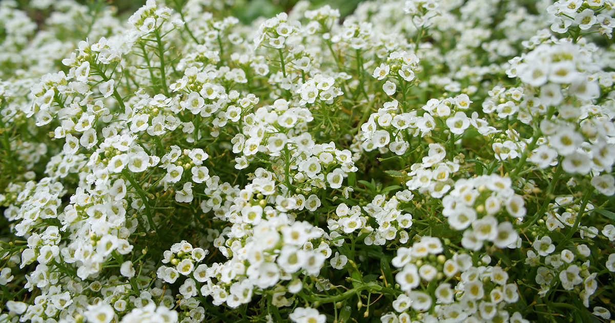 Image result for alyssum