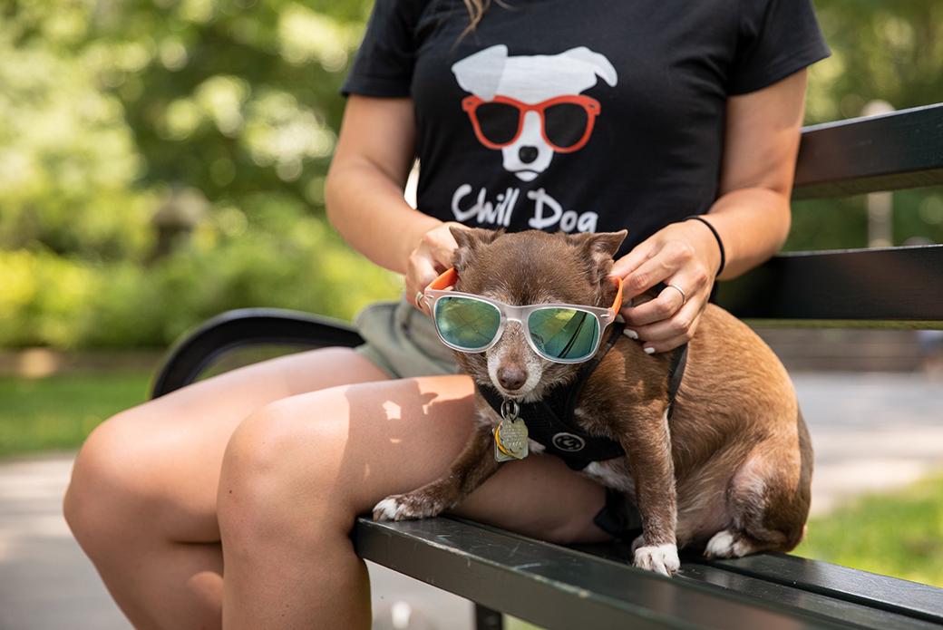 a rat terrier wearing sunglasses