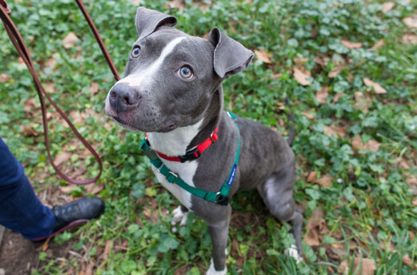 American Pit Bull Terrier Mix Dog For Adoption In Jersey City New ...