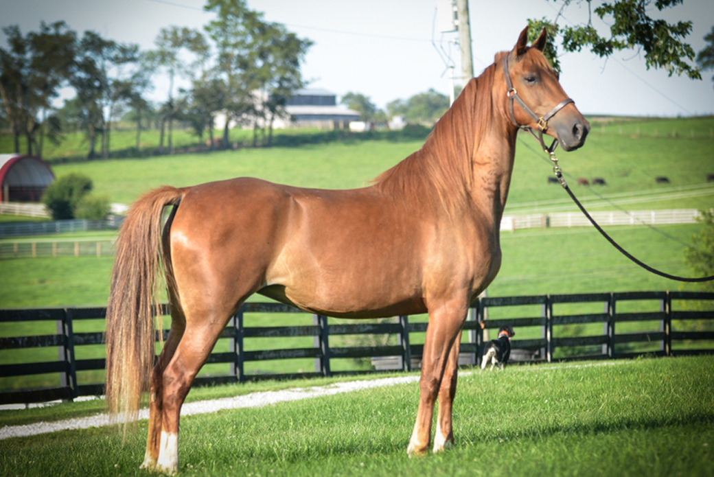 Anya, an American Saddlebred