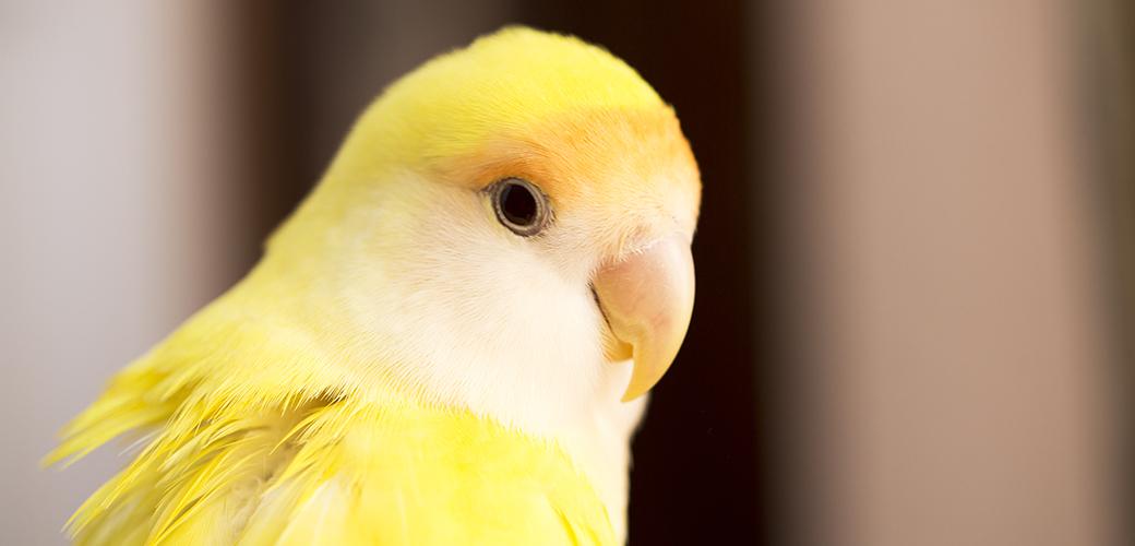 a yellow parakeet