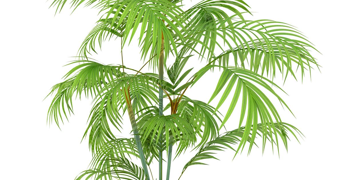Areca Palm Aspca