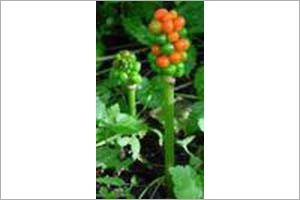 Arum with Berries