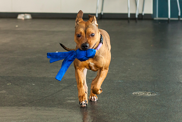Brown dog playing with blue toy