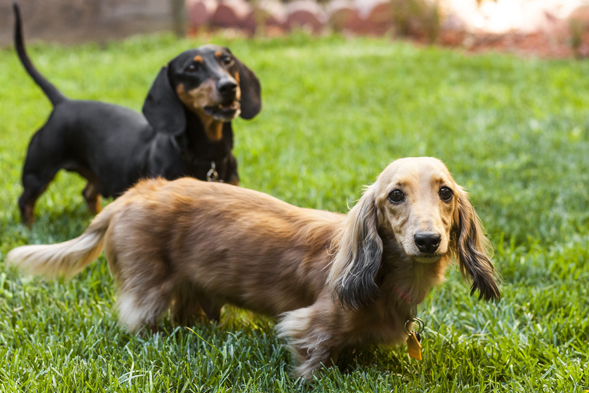 Two dachshunds playing in a yard