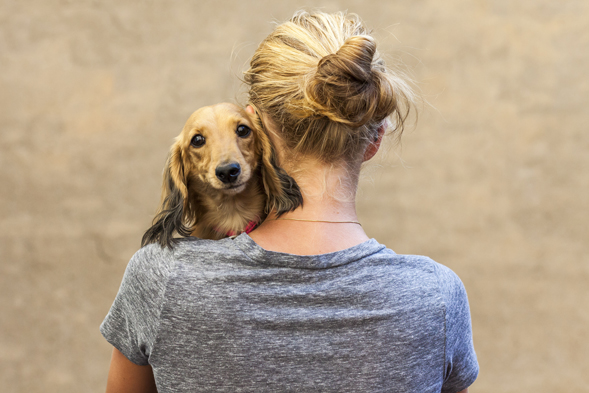 Dachshund being hugged by young woman