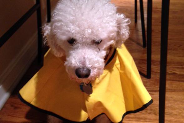White dog wearing yellow jacket