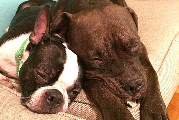 ASPCA Happy Tails: Boston Terrier Gets Second Chance in CARE Ward