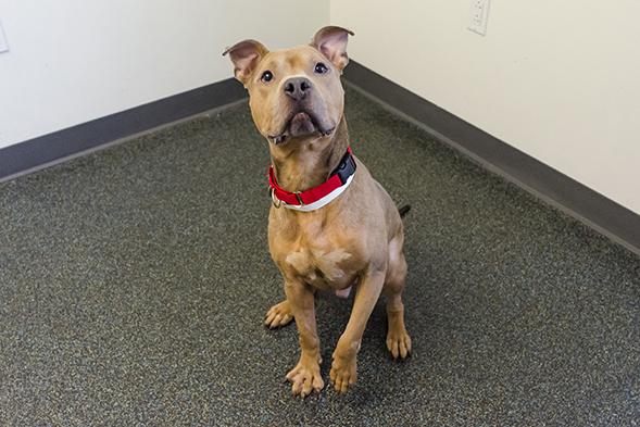 Pit bull wearing red collar
