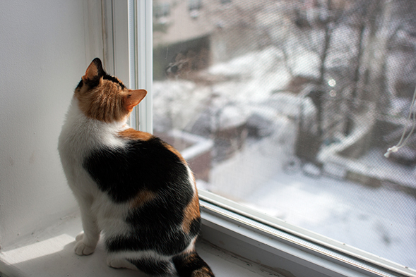Calico cat looking out of window