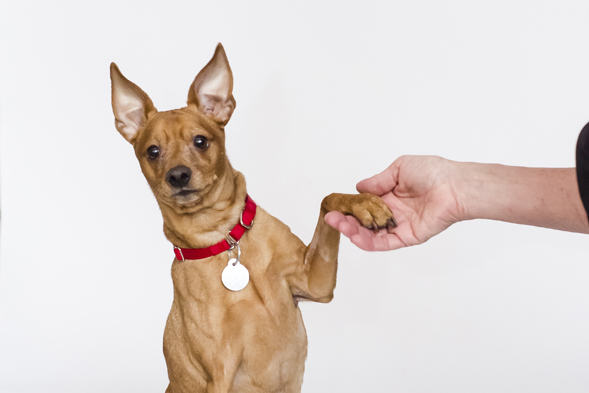 Tan miniature pinscher giving paw