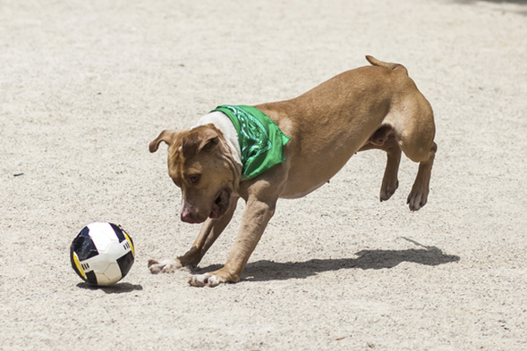 Pit bull playing with soccer ball