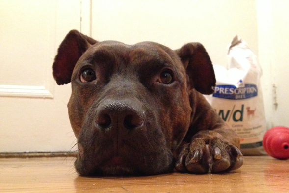 Close up of a brindle pit bull laying on floor