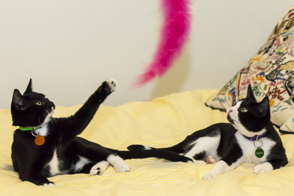 Two black and white cats playing with a pink feather