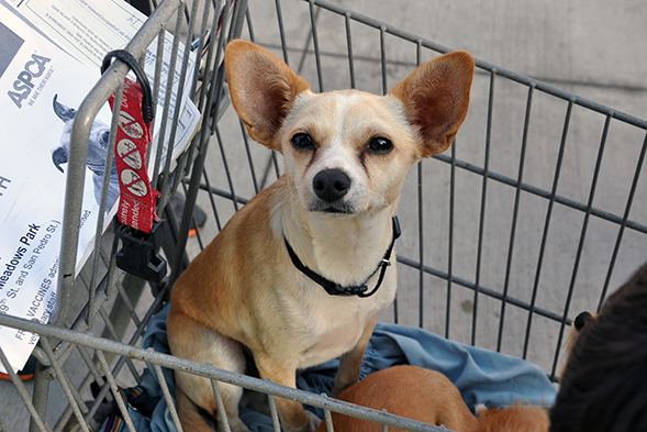 Chihuahua sitting in shopping cart