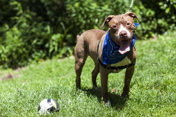 Brown and white pit bull