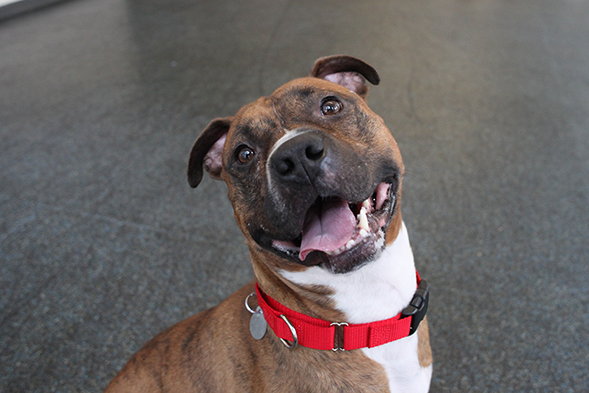 Happy brown and white pit bull wearing red collar