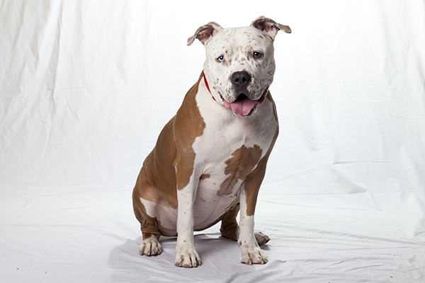 Tan and white pit bull with spotted face