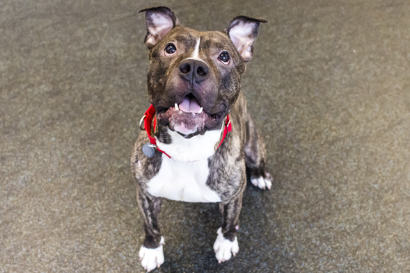 Brindle and white pit bull mix