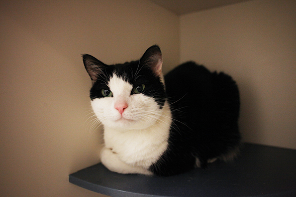 Black and white tuxedo cat laying down