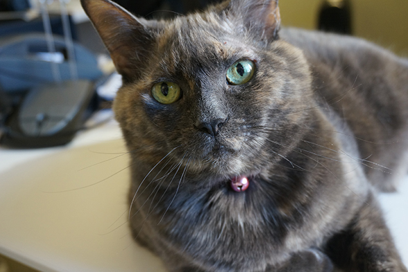 Brown cat with green eyes laying down