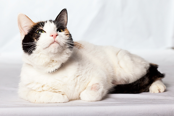 Calico cat laying down