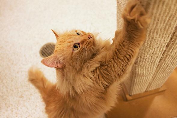 Orange cat using scratching post