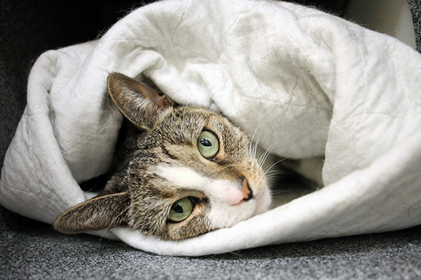 Brown and white cat snuggled inside a blanket