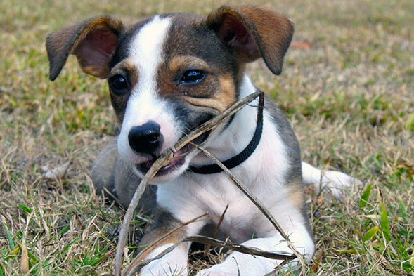 Brown and white dog laying on grass chewing on stick