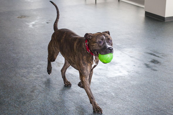 brindle pit bull playing with ball