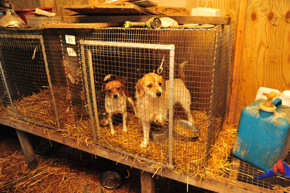 Puppy mill dogs in small cage