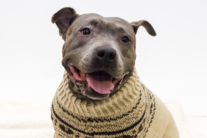 Happy pit bull wearing sweater