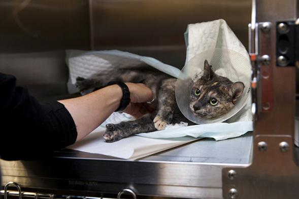 cat post surgery