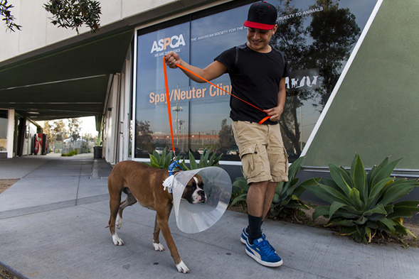 happy pet parent leaving clinic with Boxer wearing cone