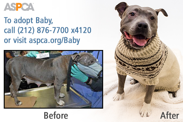 Before and after of abandoned dog in ASPCA care