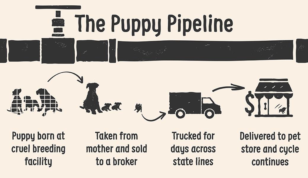 puppy pipeline