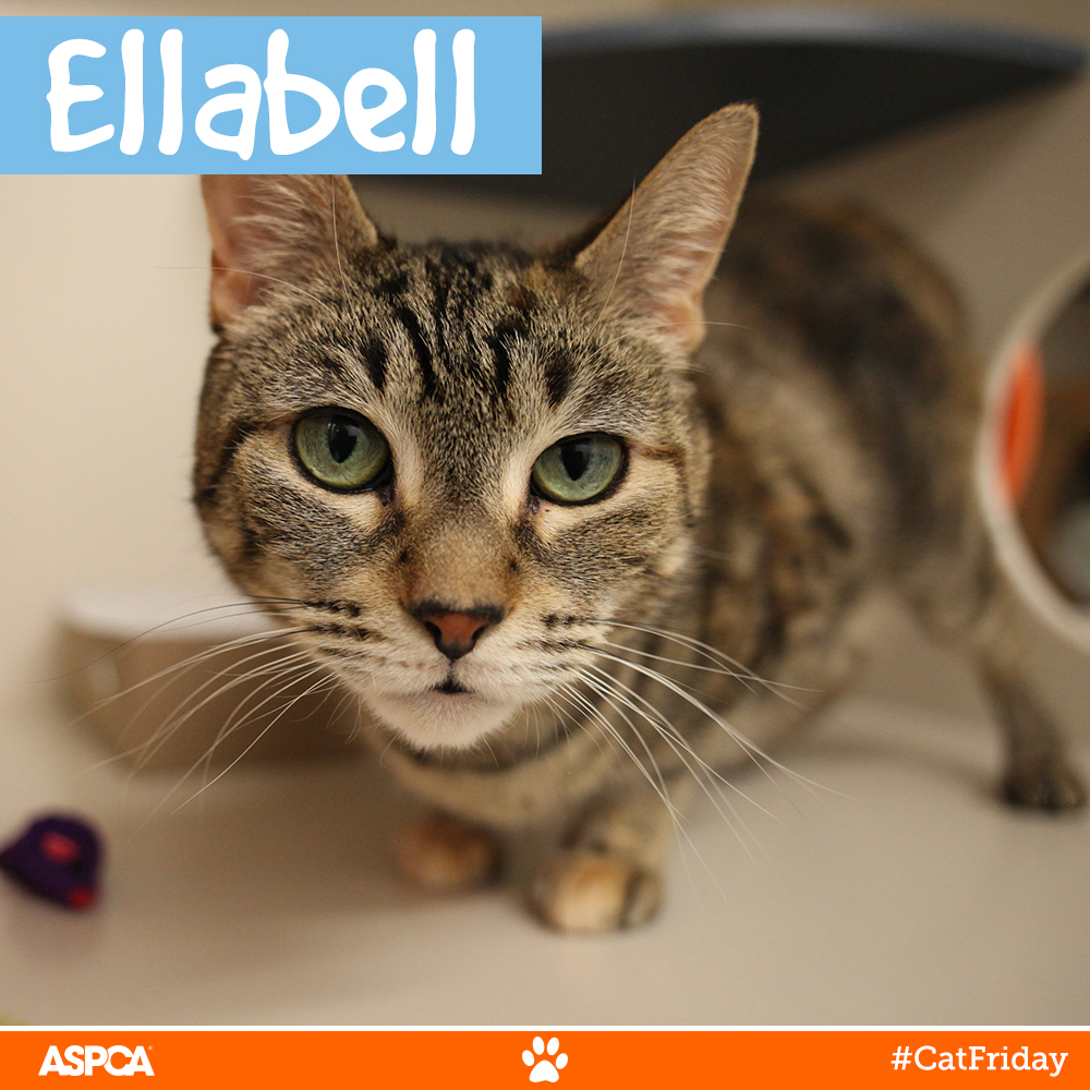 Better Than Black Friday: Don't Miss Cat Friday at the ASPCA Adoption Center!