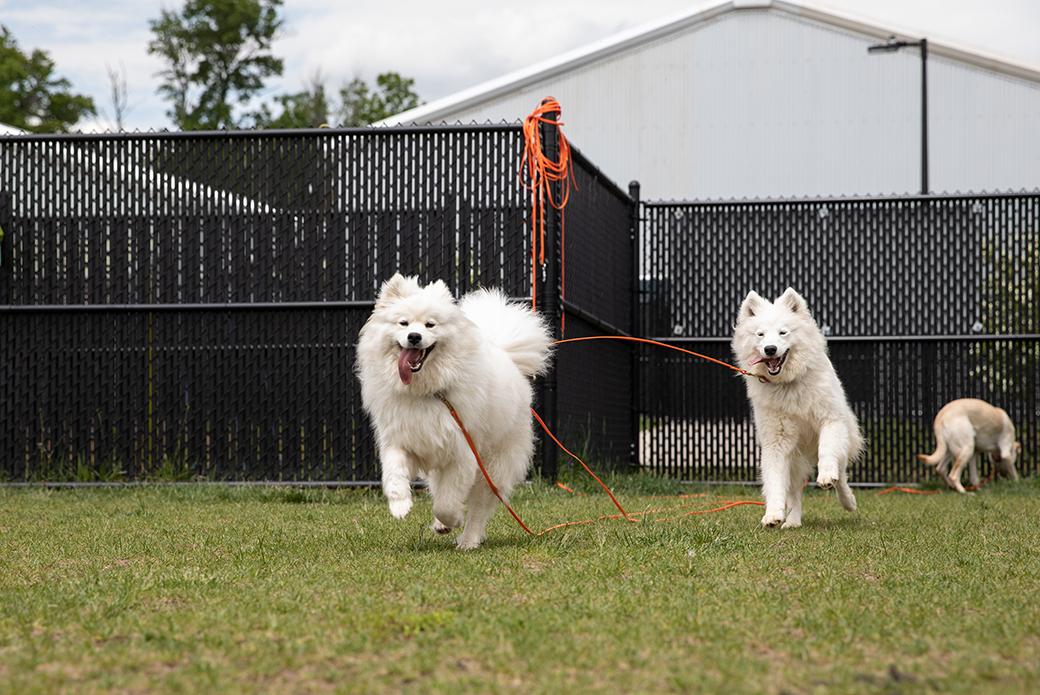 two samoyeds playing